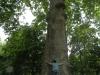 albero abbracciato 1