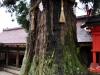 cedro giapponese